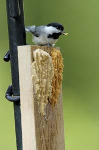 Chickadee on Bark Butter